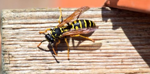 wasp on roof.jpg