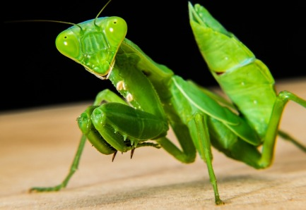 greenmantis